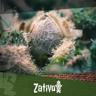 Comment distinguer les graines de cannabis de haute qualité des mauvaises