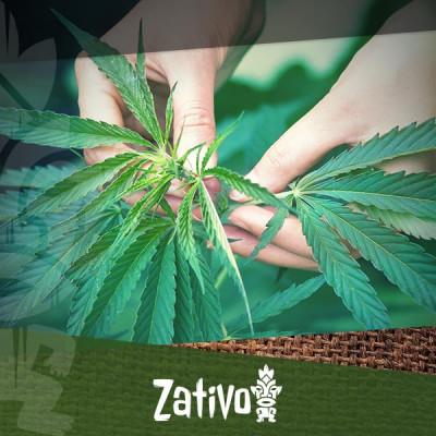 Guide complet de la culture de cannabis bio en intérieur et extérieur