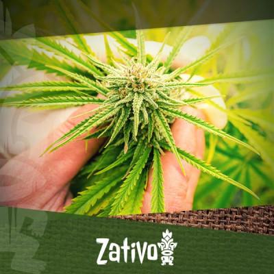 Graines vs Boutures De Cannabis : C'est Quoi Le Mieux ?